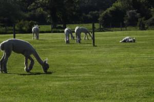 alpaca paddocks 2